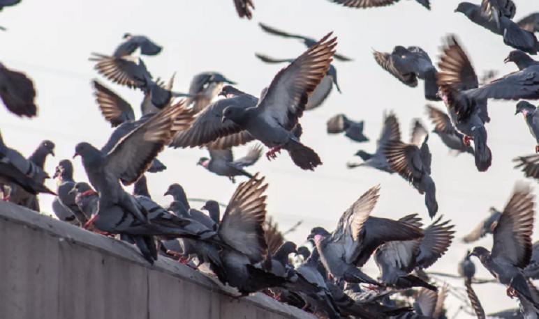 El Ayuntamiento de Pedrola trabaja para controlar la plaga de palomas